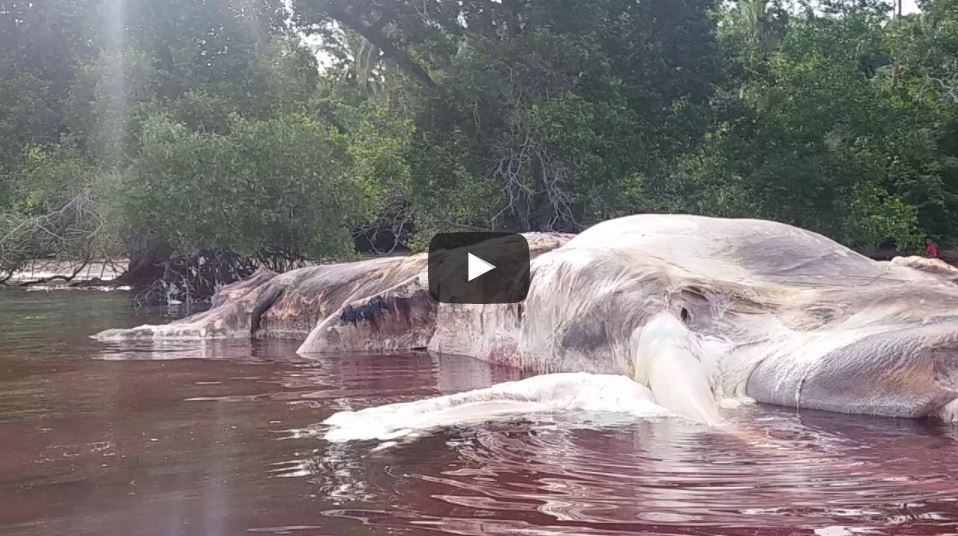 Bangkai Mahluk Raksasa Terdampar di Perairan Maluku, Memicu Kehebohan