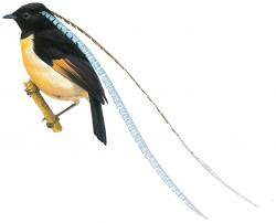 King of Saxony Bird-of-paradise