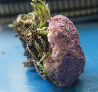 pale pink plasmodium Fuligo septica