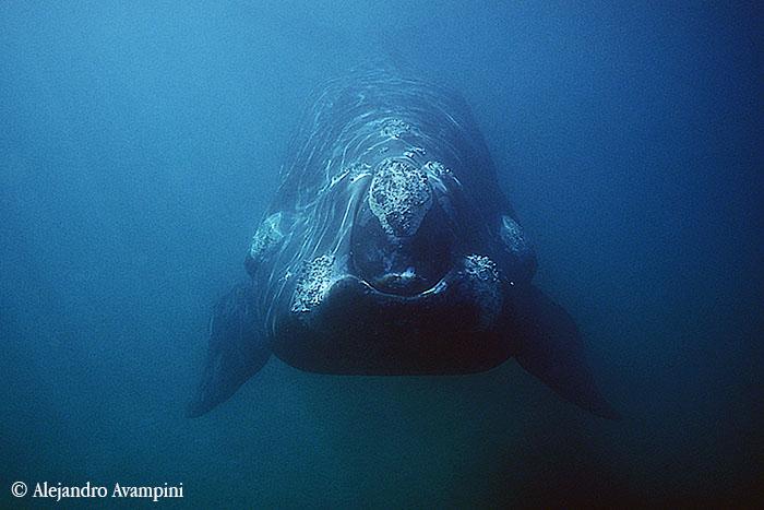 ballena franca foto subacuática en Peninsula Valdes