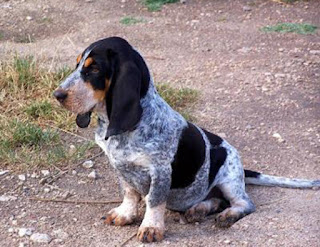 Everything about your Basset Bleu de Gascogne