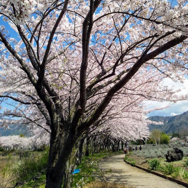 河口湖 八木崎公園 桜