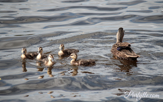 Pacific black duck with her ducklings spots a rival duck coming to steal her young
