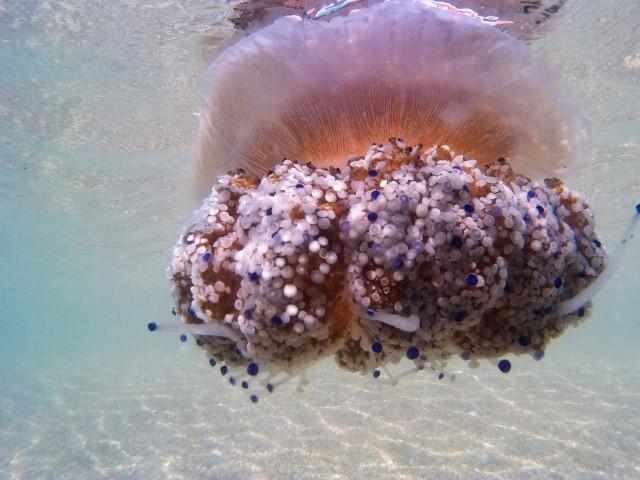 Cassiopea numanese mare Adriatico