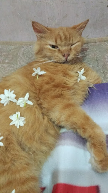 Menyembuhkan Sakit Calicivirus pada Kucing