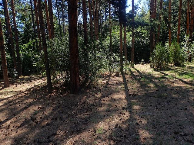 Sosnowy las ocieniający polanę
