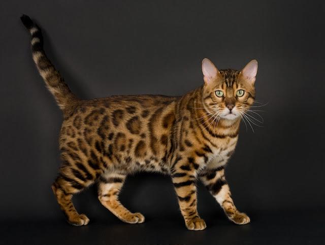 bengal cat adalah salah satu kucing termahal di dunia