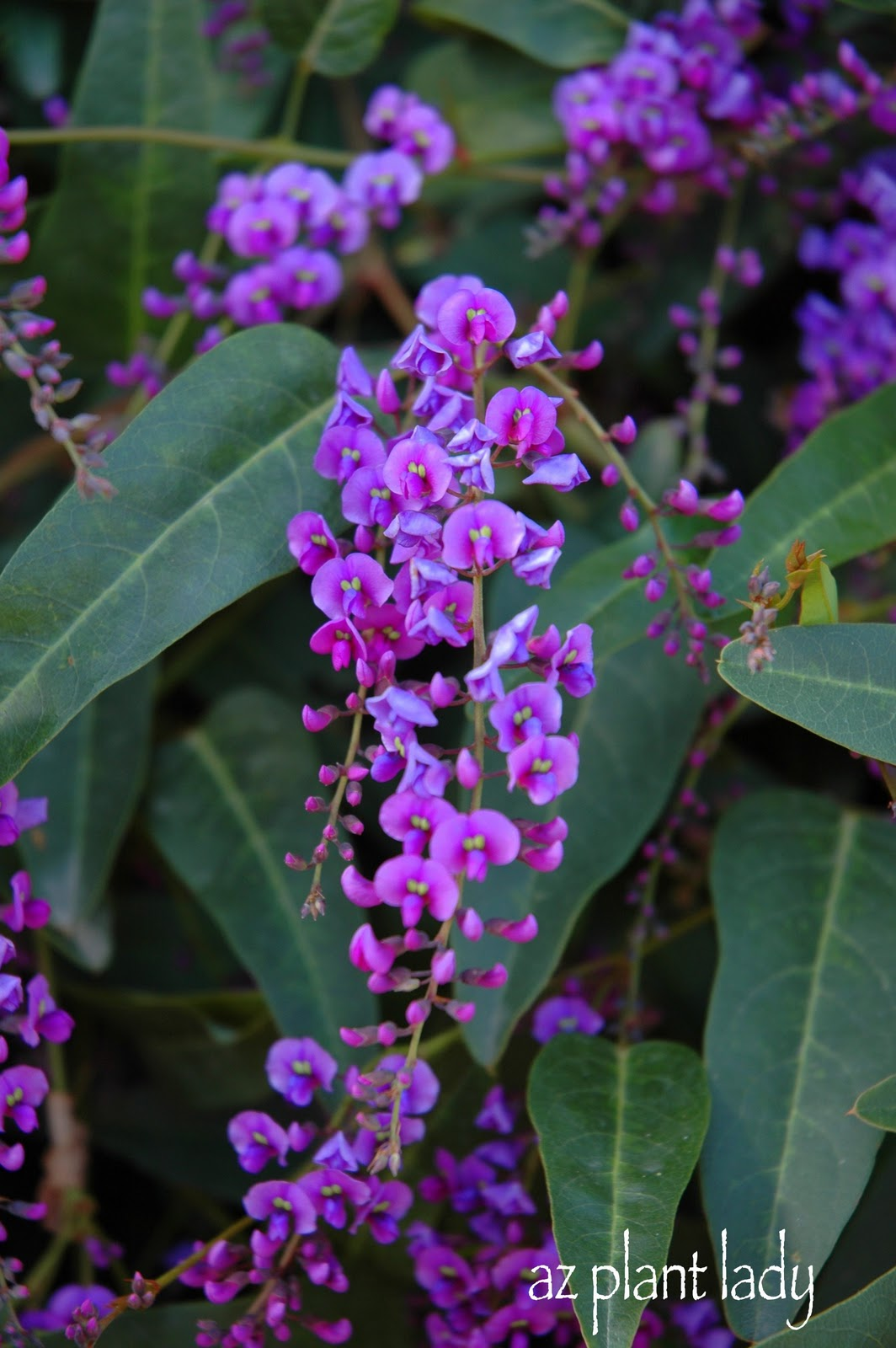 A Lilac For The Desert Another Great Lesser Known Plant To Try