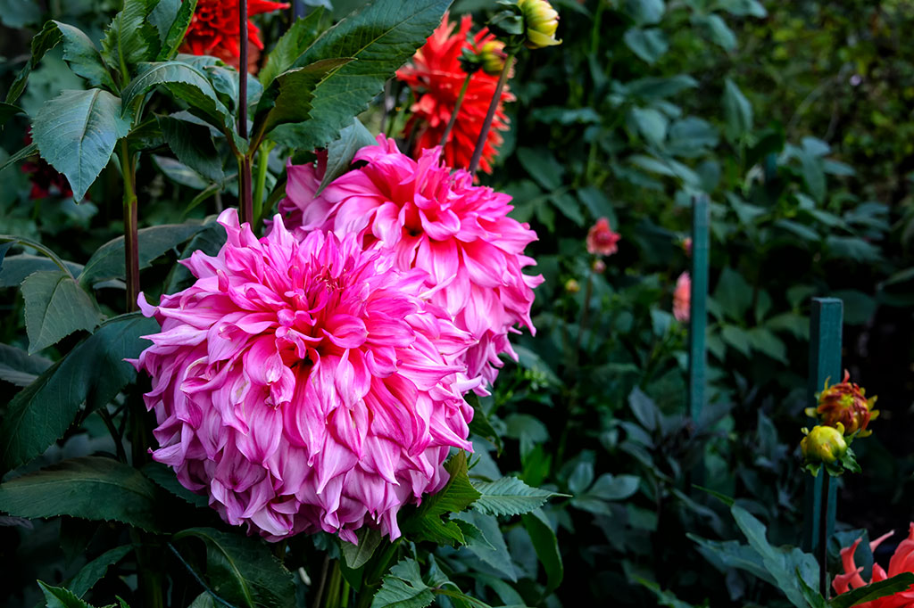 Flowers at The Butchart Gardens