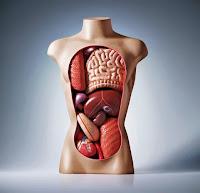 vnutrennie-organy-cheloveka