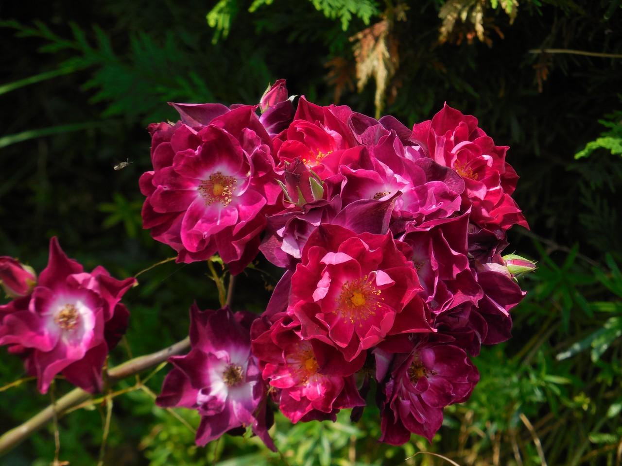 Cagouille 39 s garden tour de jardin p scal - Deplacer un rosier ...