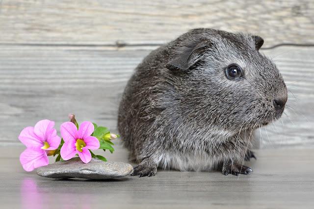 Cavia achtergrond met een mooie grijze cavia aan het poseren voor de camera met naast hem een roze bloem