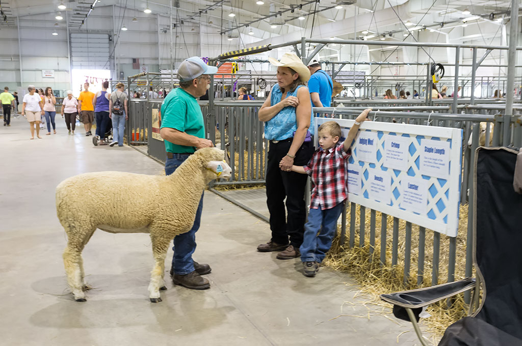 Sheep at the York Fair