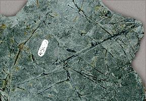 Rhacophyton fossil
