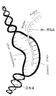 Genetik Şifre ve Protein Sentezi