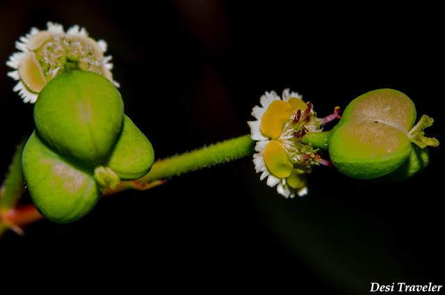 3 lobed fruit