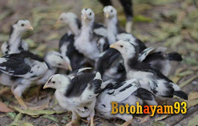 Cara Merawat Anak Ayam Supaya Dapat Tumbuh Besar - Botohayam93