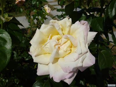 黄ばんだ紫の薔薇