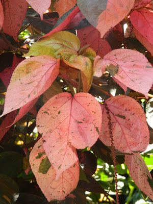 Acalypha wilkesiana Copperleaf at Diamond Botanical Gardens Soufriere St. Lucia by garden muses-not another Toronto gardening blog
