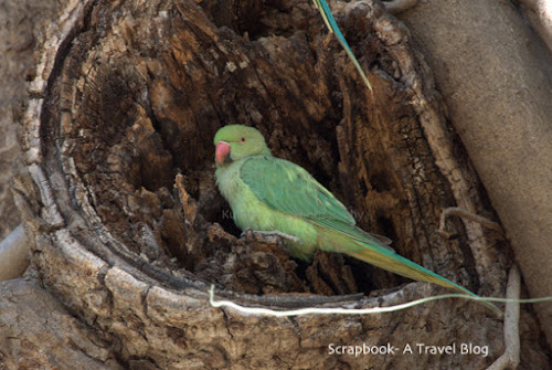 Rose ringed Parakeet at Gir National Park Gujarat India