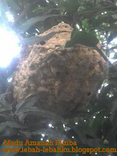 cara mengusir tawon ndas lebah beracun