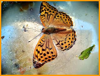 mariposa-miera