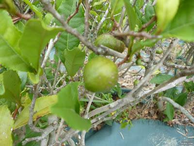 茶の木の実