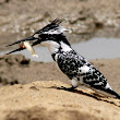 Pied Kingfisher ~ My Clicks Story | Amazing Photography