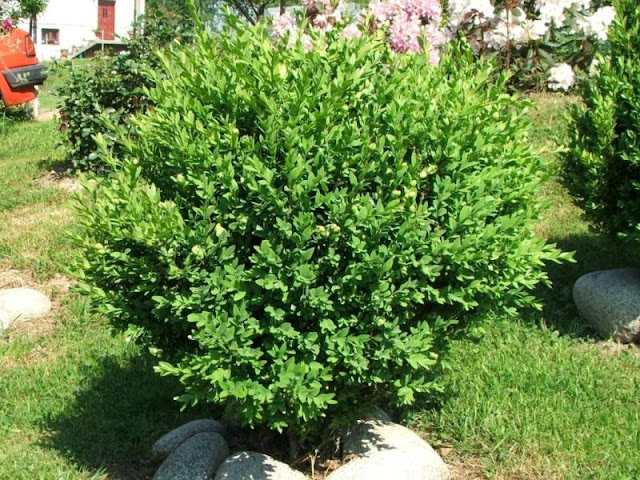 shrubby untrimmed box plant