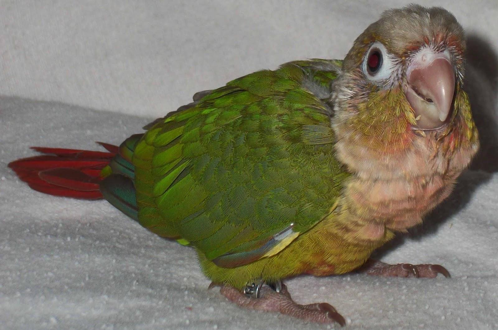 Calming a Green Cheek Conure Scared of Me? – Green Cheek ... - photo#11