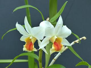 Dendrobium Precious Dawn