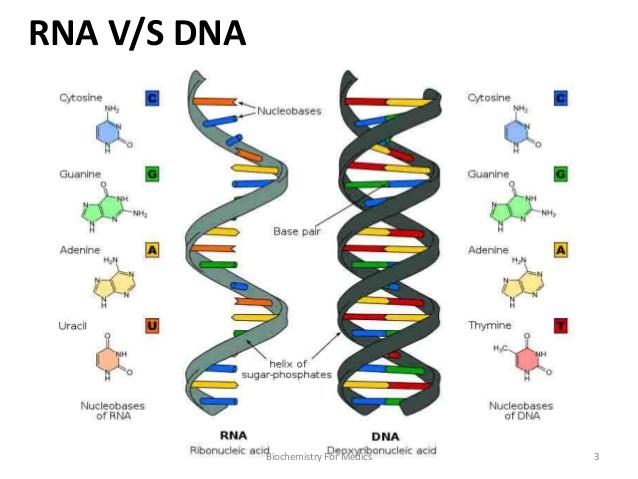 La Mitocondria  Fabricando Arn