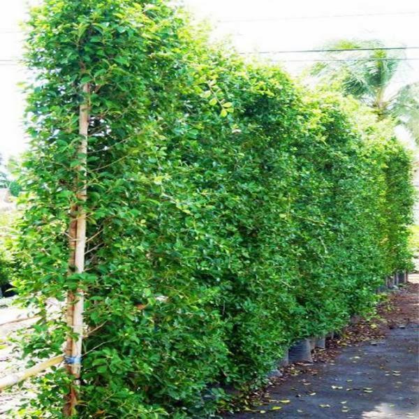 ต้นไทรอินโด ต้นไม่ทำรั้ว
