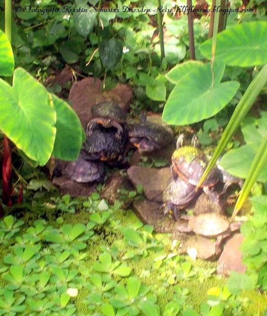 Veranstaltungstipp Dresden Botanischer Garten Schildkröten