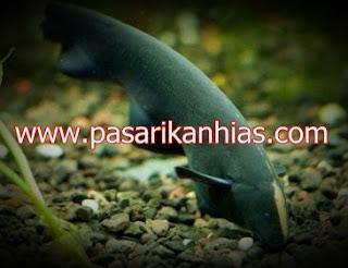Ikan hias Black Ghost