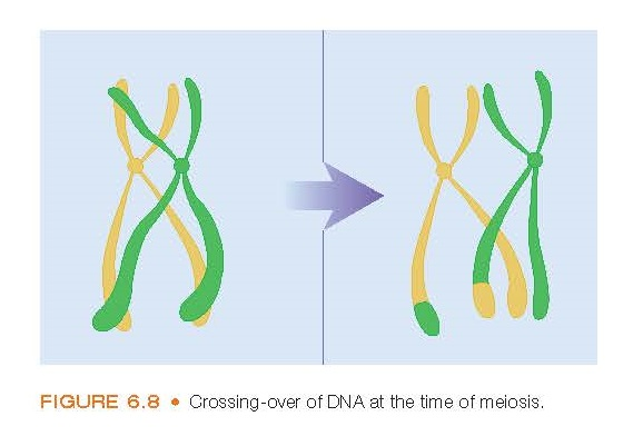 Crossing-over of DNA at the time of meiosis.