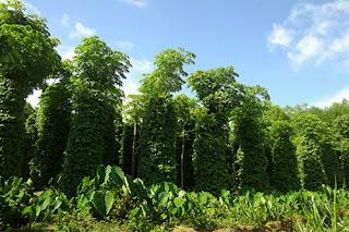 Cây tiêu trồng tại Đăk Lăk