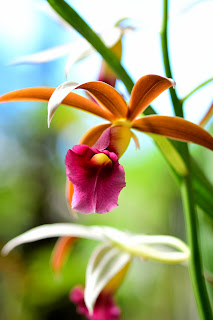 orchid flowers in Puriscal