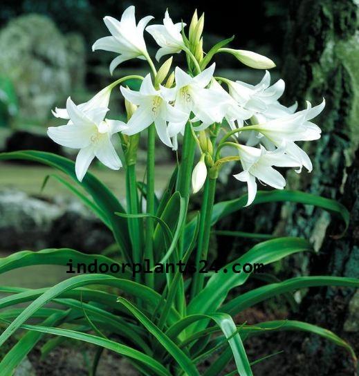 Crinumx POWELLU Amaryllidaceae Spider lily Plant