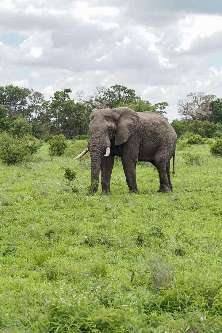 Elephant in Kruger Park