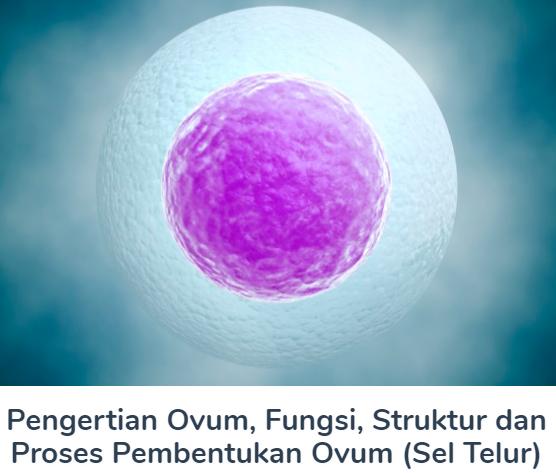 Ovum : Pengertian Beserta Fungsi, Struktur Dan Proses Pembentukan Ovum (Sel Telur) Terlengkap Disini