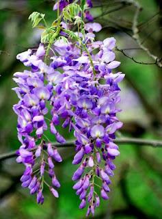 wisteria-flowers-surabaya