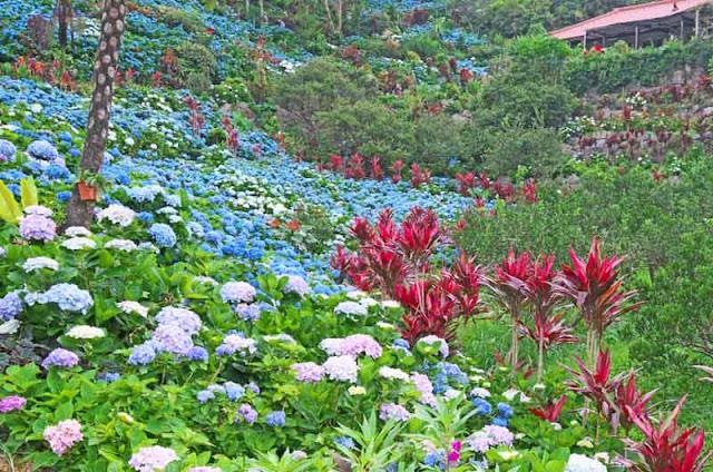 flowers, hydrangea,Yohena Gardens, Motobu