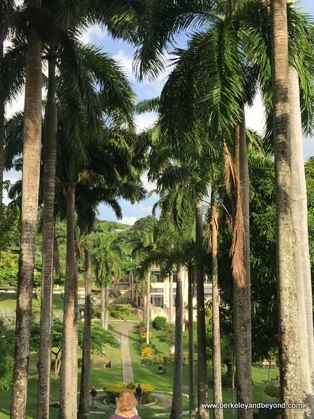 rows of royal palms at Scarborough Botanical Gardens in Scarborough, Tobago