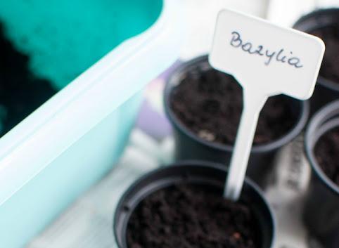 Ogród w doniczce: Jak uprawiać bazylię? Część 1