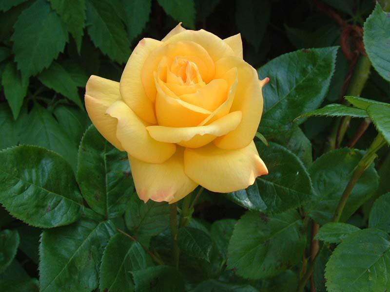 yellow rose flower wallpaper - photo #21