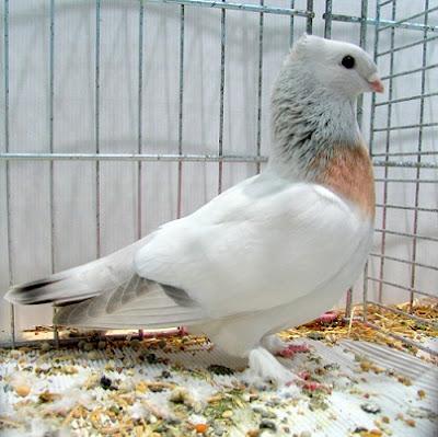 lucerne pigeons - swiss pigeons