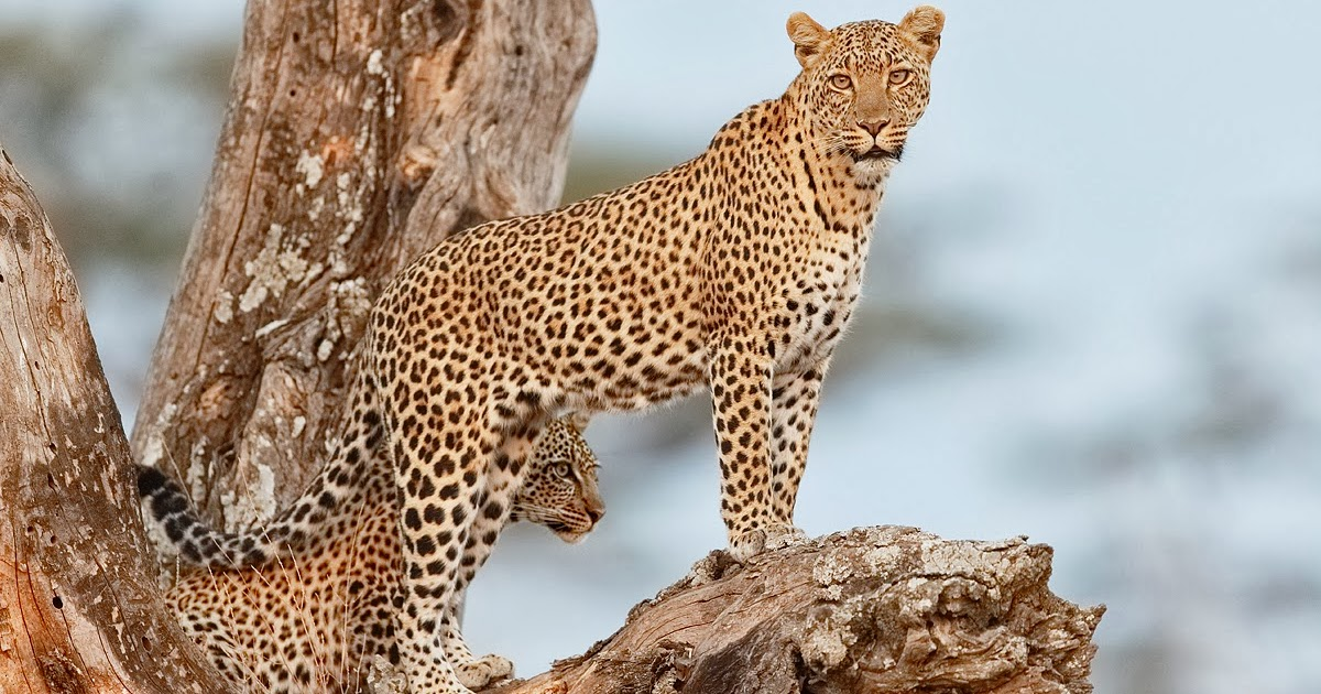Wildlife Photos: Leopard vs. Cheetah (The Difference)