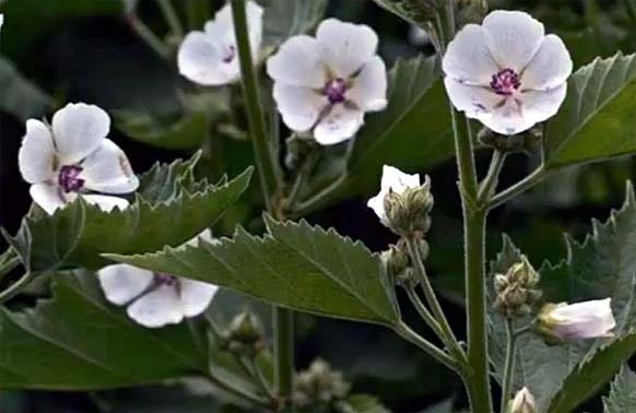 Altéia (Althaea officinalis, Althaea medicamentosa)