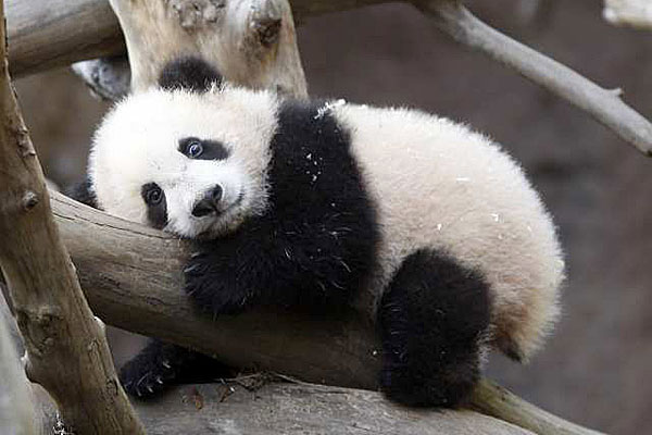 Free Wallpapers: Cute Baby Panda Pictures